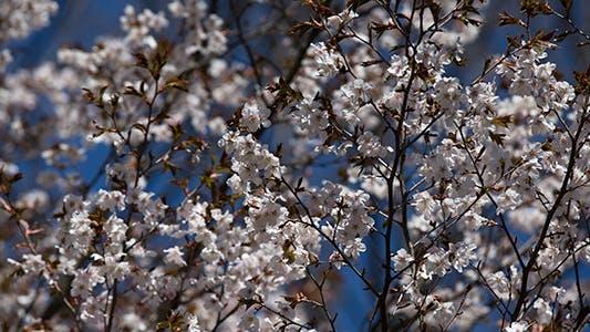 Thumbnail for Sakura Cherry in Spring Time