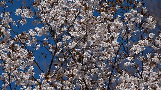 Thumbnail for Blooming Sakura Cherry