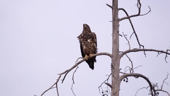 Thumbnail for Young Eagle sitting in tree top