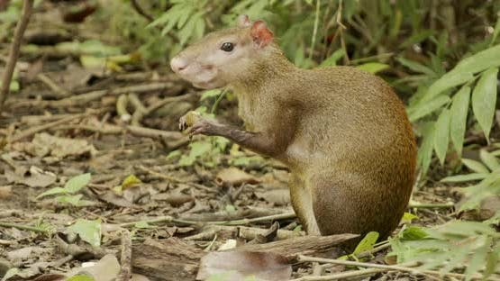 Central American Agouti Adult Lone Eating Chewing Gnawing Cute Nut