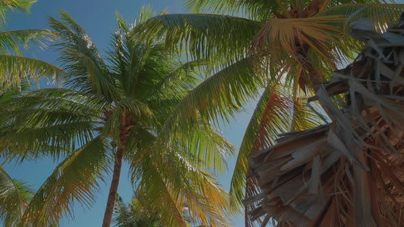 Thumbnail for Jamaica Palm Trees Swaying In The Wind On Beautiful Sunny Day