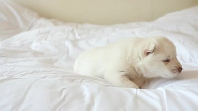 Cute White Siberian Husky Puppy Lying On White Bed