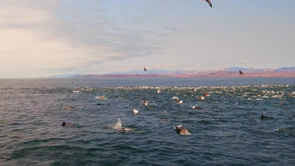Seagulls Flying Over a Large Pod of Seals in the Ocean at Sunset
