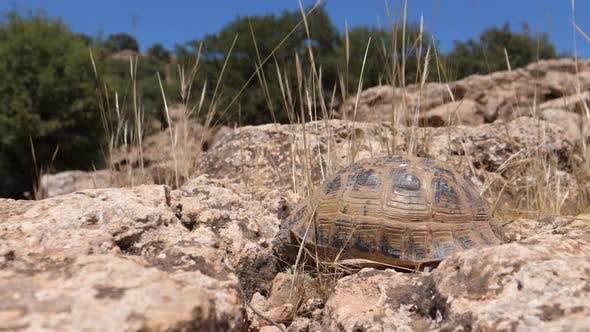 Thumbnail for Moroccan tortoise walks away