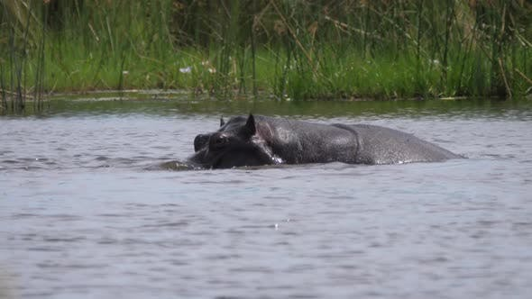 Cover Image for Two hippos in a lake at Moremi Game Reserve