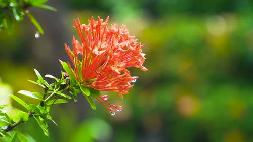 West Indian Jasmine Flower