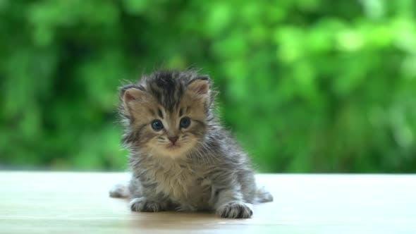 Cute Persian Kitten Sitting On Table