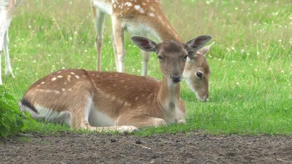 Thumbnail for A herd of deer grazes in the meadow