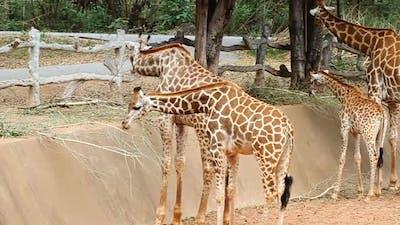 Giraffe eating twigs