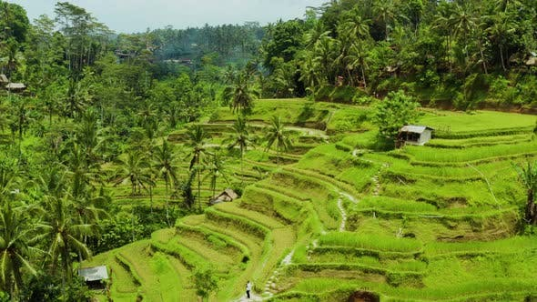 Thumbnail for Aerial shot of the lush green rice paddies of Bali.