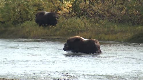 Musk Ox Herd Many Wading in Autumn River Stream Creek in Alaska