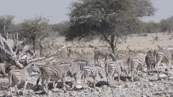Thumbnail for Crowded Zebra Herd Walking on Rocky Ground