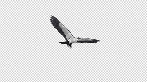 Swallowtail Kite - 4K Flying Transition - I