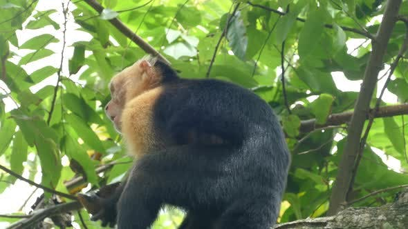 Thumbnail for Capuchin monkey turns around while eating from a coconut
