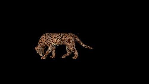 Cougar Eat