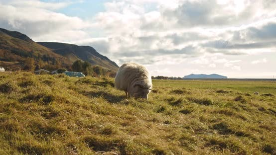 Thumbnail for Sheep Eating Greenery in Iceland in Mountain