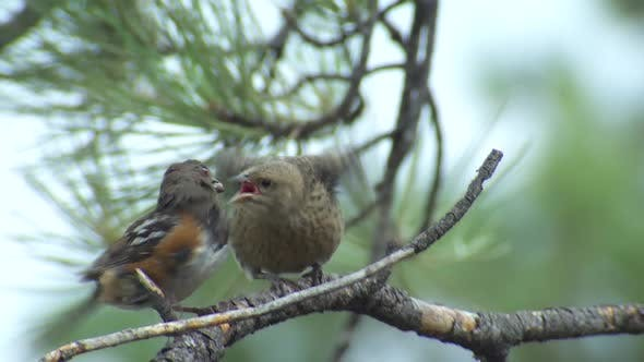 Thumbnail for Spotted Towhee Adult Eating Feeding in Summer Parasitism Deception Begging