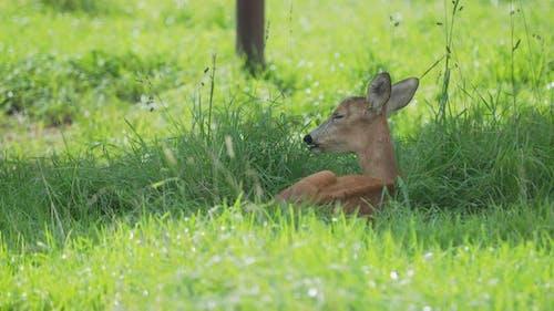 Fallow Deer Is Lying in Grass and Chewing Something. Dama Dama, Ruminant Mammal,