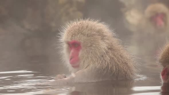 Thumbnail for Snow Monkey in Hot Spring