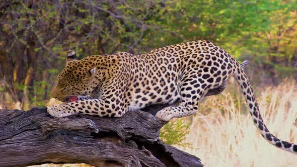 Thumbnail for Leopard Feeding In Africa