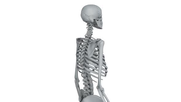 Thumbnail for Skeleton Model