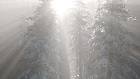 Thumbnail for Misty Fog in Pine Forest on Mountain Slopes