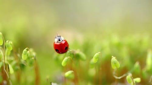 Closeup Wildlife of a Ladybug in the Green Grass in the Forest