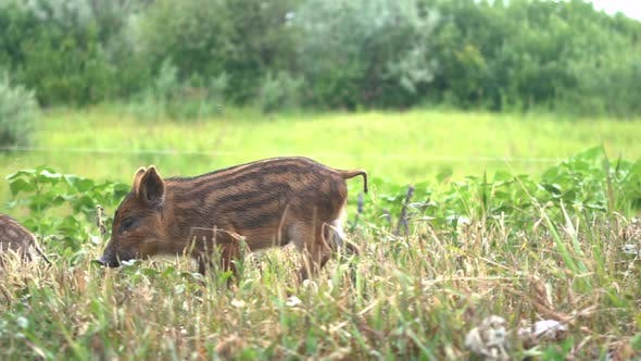 Thumbnail for Baby Wild Boars