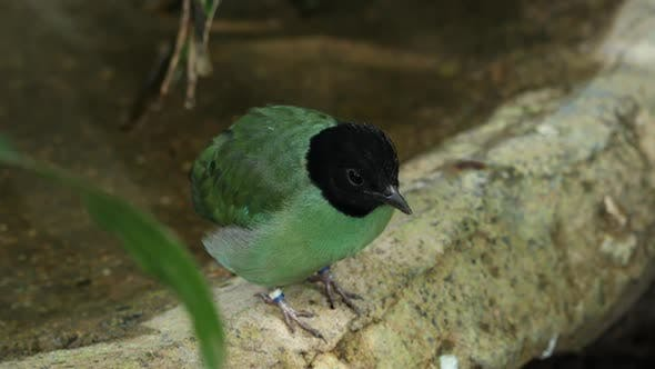 Thumbnail for Hooded pitta scratching its head and then hoping away