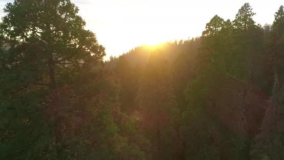 Thumbnail for Aerial  Shot Through Towering Groves of Giant Sequoias at Dusk.