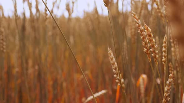 Thumbnail for Wheat Gold Stalks Swaying on Wind Isolated Slowmo
