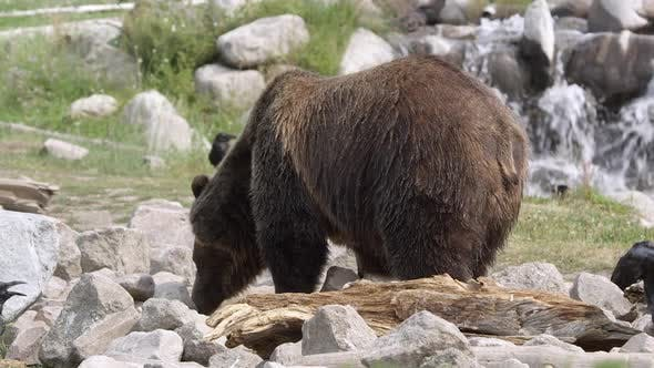 Grizzly bear scavenging in rocks