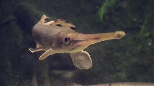 Longnose Gar Adult Alone Swimming Nose Bill Snout