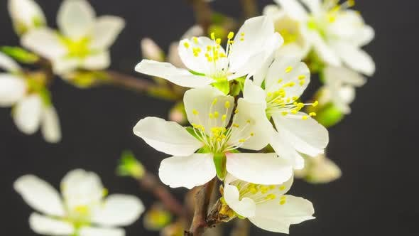Almond Flower Blossom 1