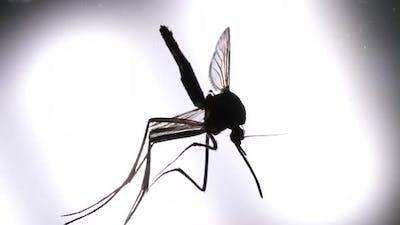 Mosquito Analysis