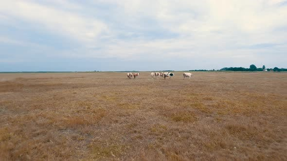 Thumbnail for Cows in Field