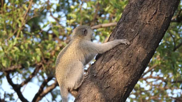 Young vervet monkey in a tree