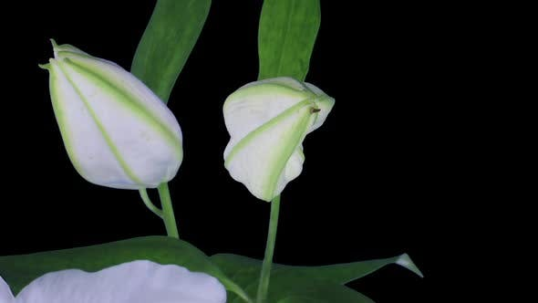 Thumbnail for Time-lapse of opening white lily flower