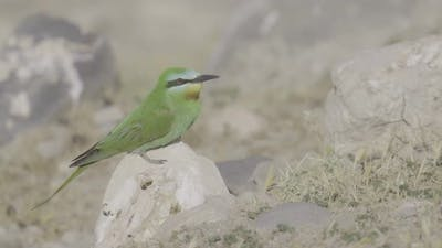 Bee Eater Perched on Stone