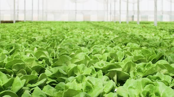 Thumbnail for Organic Green Salad Growing in a Greenhouse with Modern Technology