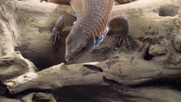 Thumbnail for Sudan Plated Lizard - Gerrhosaurus Major on Wooden Snag at Black Background. Close Up