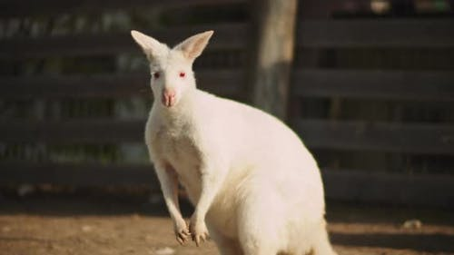 Close up of Adult albino red-necked wallaby on a farm. BMPCC 4K