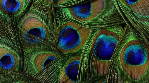 Feathers of Tropical Peacock Bird. Macro Rotation Close-up View. Beautiful Animals. Color Accuracy