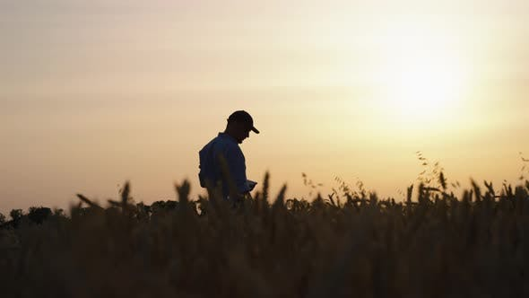 Silhouette of Agronomist Standing in Wheat Field