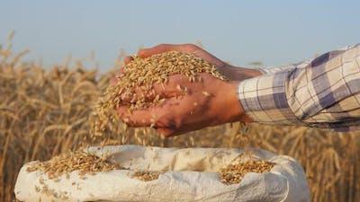 Harvest Closeup of Farmers Hands Holding Barley Grains