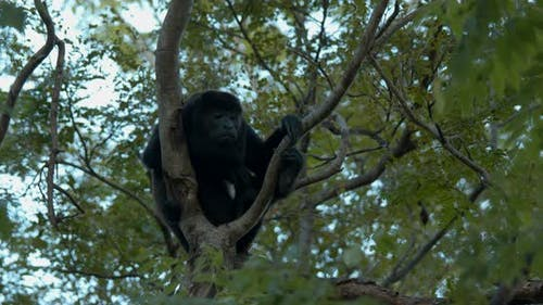 Mantled Howler Monkey Male Adult Lone Calling Howling Dawn Morning