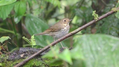 Swainson's Thrush Songbird Standing Looking Around in Wet Jungle in Ecuador