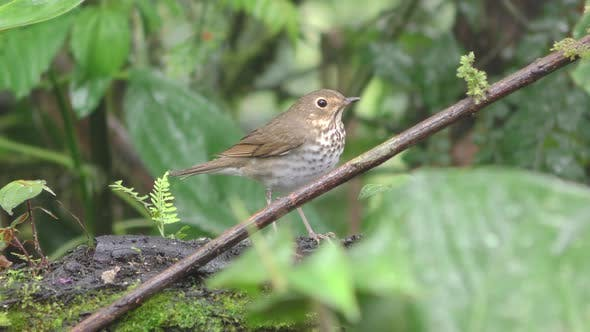 Thumbnail for Swainson's Thrush Songbird Standing Looking Around in Wet Jungle in Ecuador