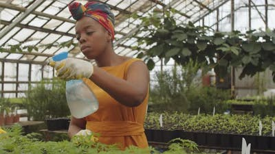 Afro-American Woman Spraying Plants in Greenhouse