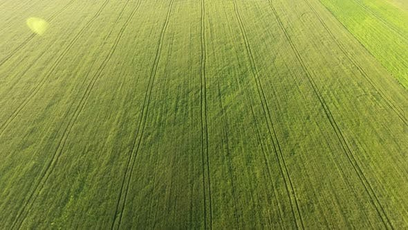 Thumbnail for Aerial of the Picturesque Green Wheat Field From a High Flying Drone in Summer